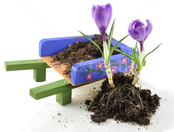 Açafrão flores primavera flor tiro Foto stock © saddako2