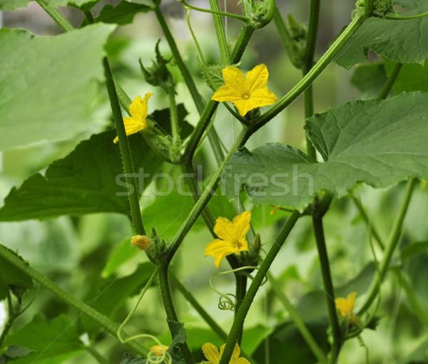 cucumber flowers Stock photo © saddako2
