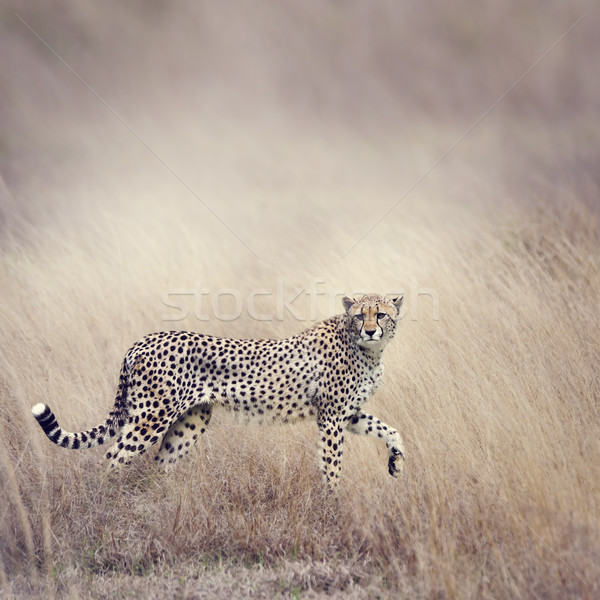 Stock photo: Cheetah Walking