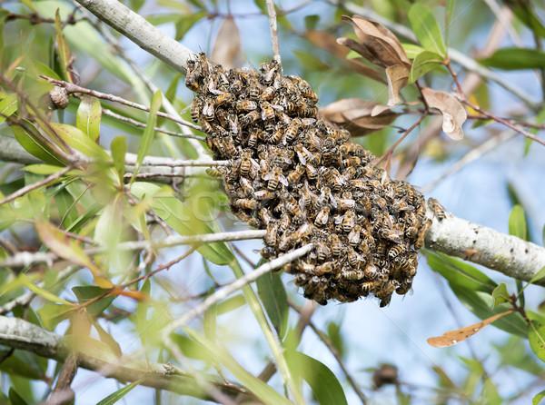 swarm of wild bees Stock photo © saddako2