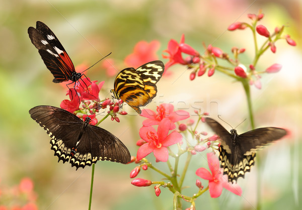 Stock photo: tropical butterflies