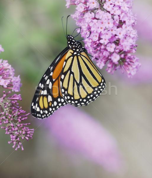 Foto stock: Borboleta · roxo · flores · verão · amarelo · inseto