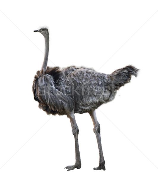 Ostrich Stock photo © saddako2