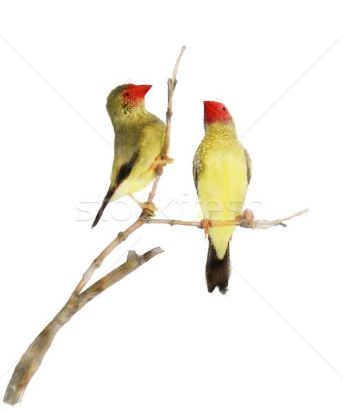 Star Finch Birds Stock photo © saddako2