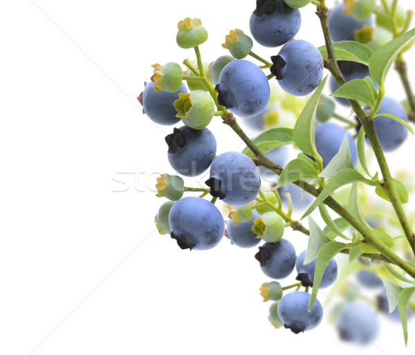 Blueberries Stock photo © saddako2