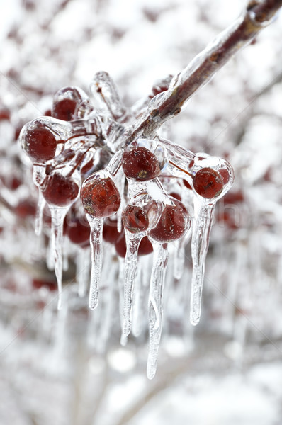 Piros bogyók közelkép lövés erdő hó Stock fotó © saddako2