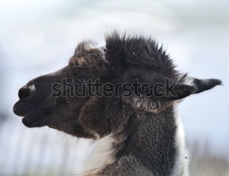 Brown And White Alpaca Stock photo © saddako2