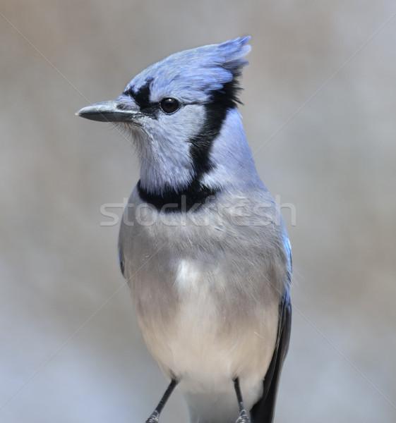 Blue Jay Bird Stock photo © saddako2