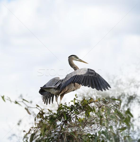 синий цапля лист птица Перу Сток-фото © saddako2