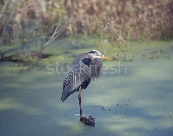синий цапля болото древесины животного Сток-фото © saddako2