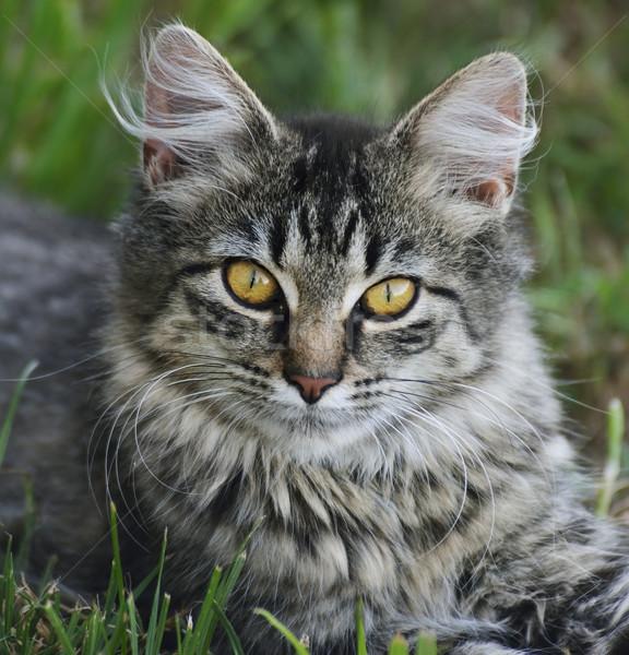 Macska portré házimacska pihen fű természet Stock fotó © saddako2