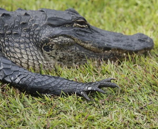 аллигатор Флорида трава природы Весы Сток-фото © saddako2