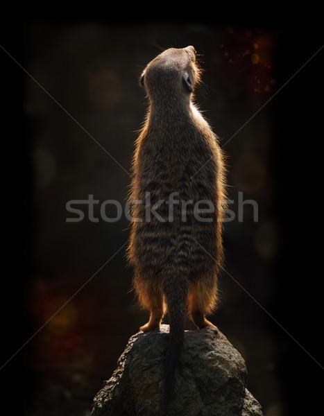 Meerkat At Sunset Stock photo © saddako2