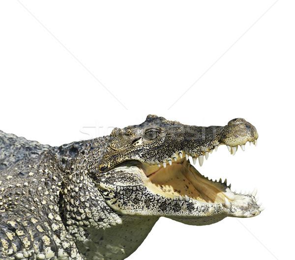 Crocodilo abrir boca isolado branco natureza Foto stock © saddako2