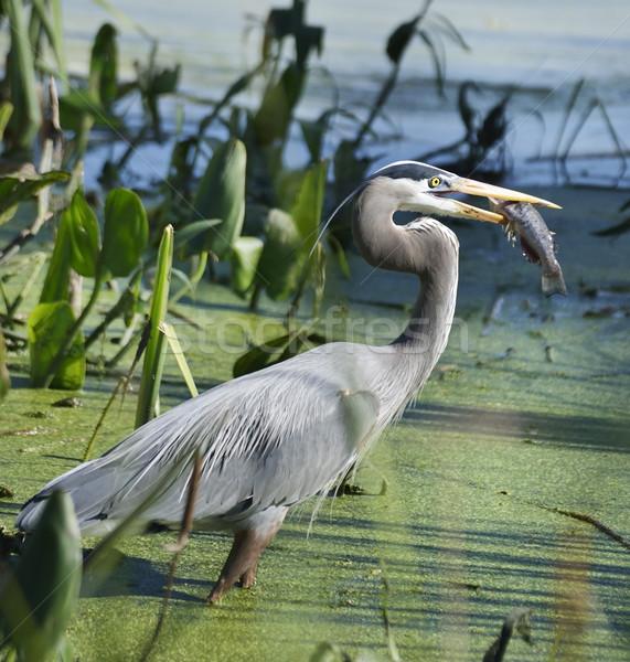 синий цапля рыбы воды птица Сток-фото © saddako2