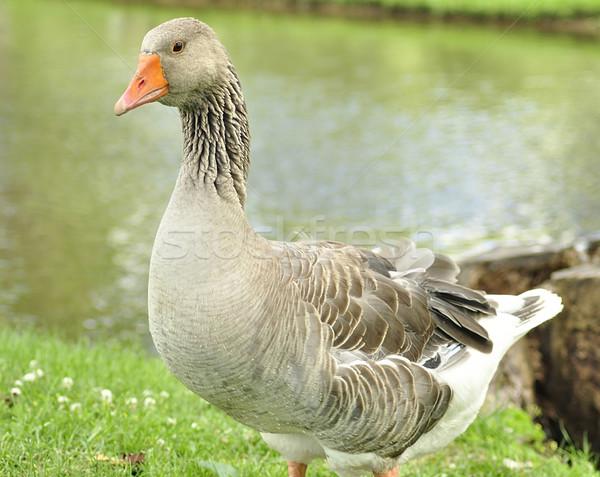 wild goose Stock photo © saddako2