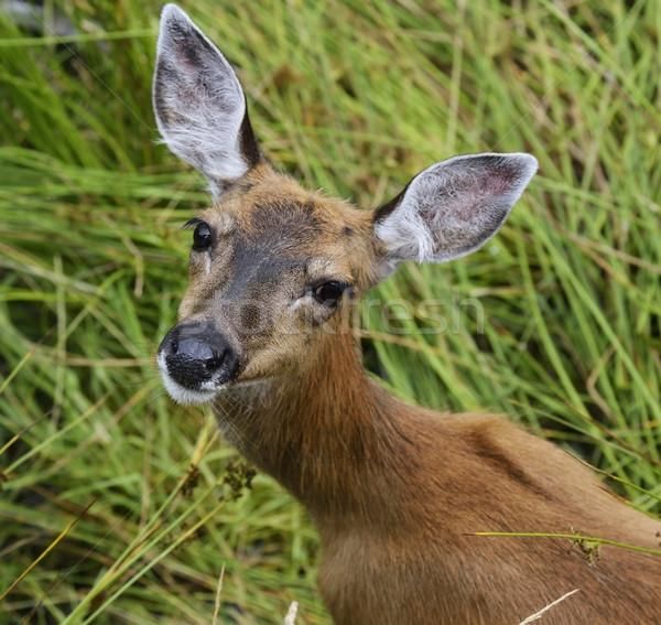 Whitetail Deer Female  Stock photo © saddako2