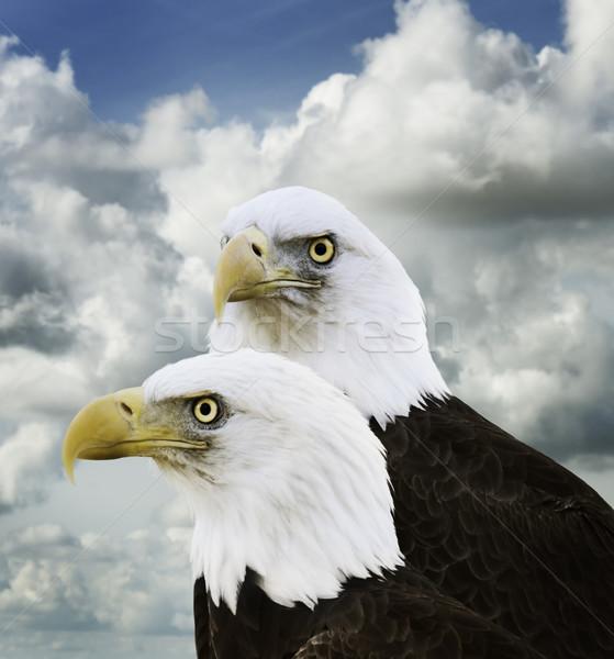 American Bald Eagles Stock photo © saddako2