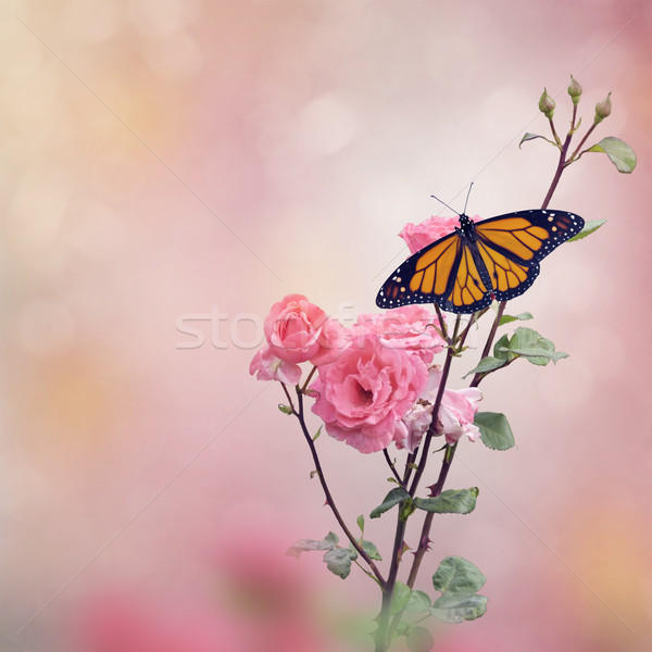 Monarch Butterfly on Rose bush Stock photo © saddako2