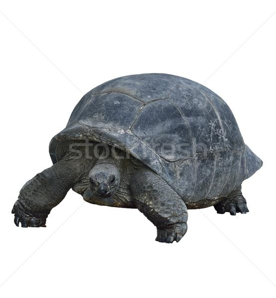 巨人 亀 カメ 孤立した 白地 野生動物 ストックフォト © saddako2