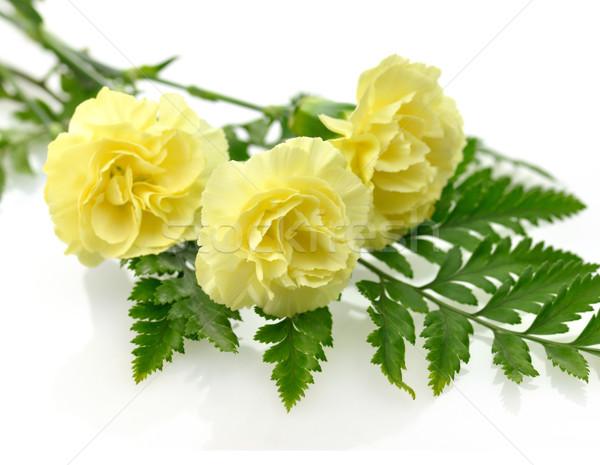 желтый гвоздика цветы цветок любви природы Сток-фото © saddako2