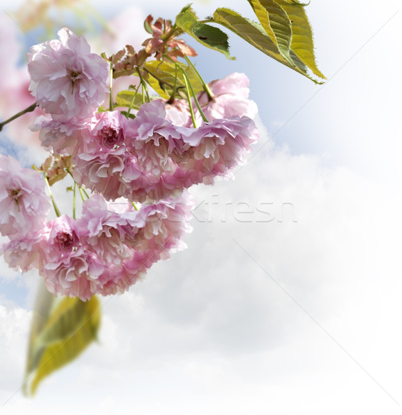 Spring Cherry Blossoms  Stock photo © saddako2