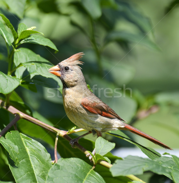 Female Northern Cardinal Stock photo © saddako2