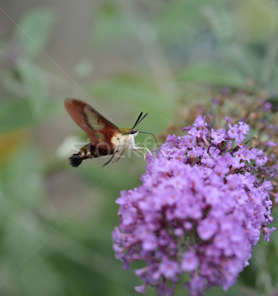 Hummingbird животного насекомое крыло макроса Blossom Сток-фото © saddako2
