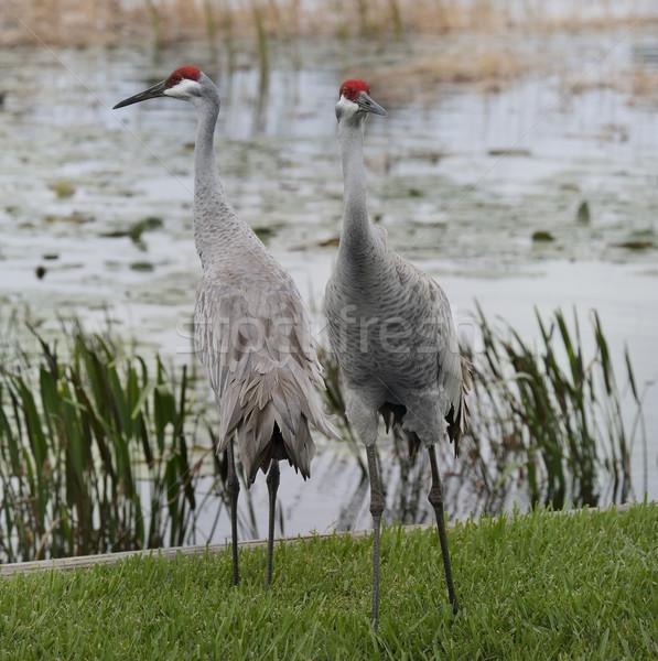Sandhill Cranes Stock photo © saddako2