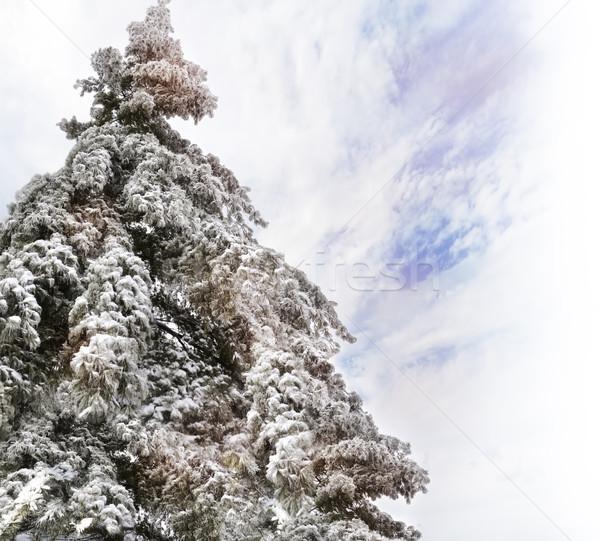 сосна снега Blue Sky облака природы зима Сток-фото © saddako2