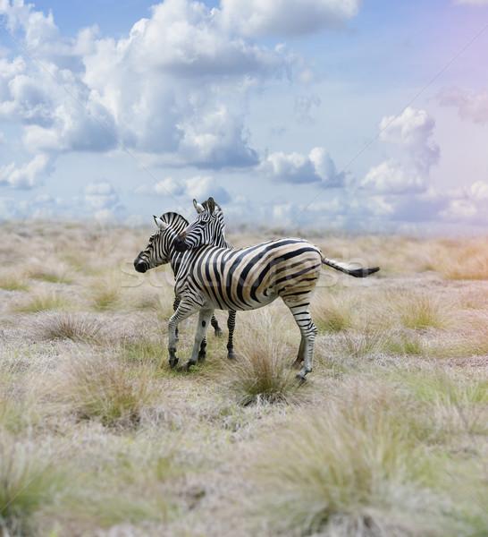 Zebre savana due cielo erba nero Foto d'archivio © saddako2