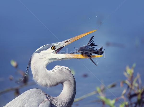 Muhteşem mavi balıkçıl balık gıda kuş Stok fotoğraf © saddako2