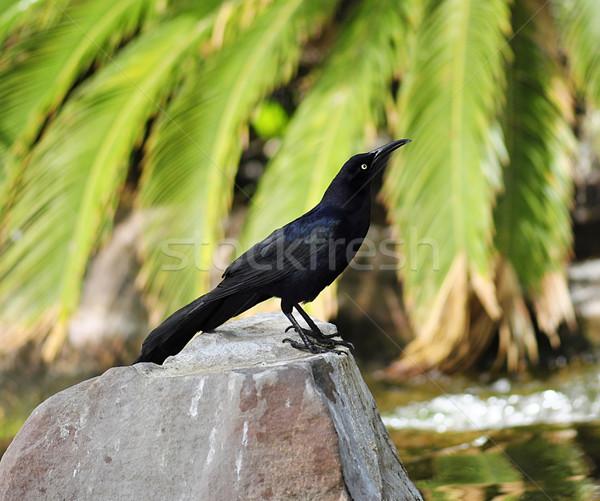 Mirlo sesión piedra primavera naturaleza aves Foto stock © saddako2