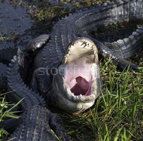 Aligator otwarte usta shot Zdjęcia stock © saddako2