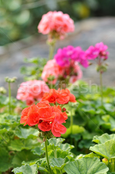 geranium Stock photo © saddako2