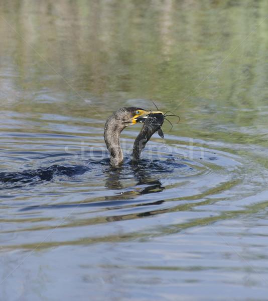 Uccello animale stagno Florida isolato rosolare Foto d'archivio © saddako2