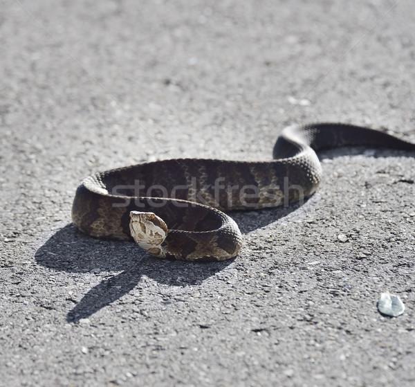 Florida Water Snake Stock photo © saddako2