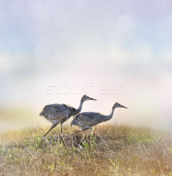 Stok fotoğraf: Vinç · civciv · yürüyüş · gündoğumu · gün · batımı · kuş