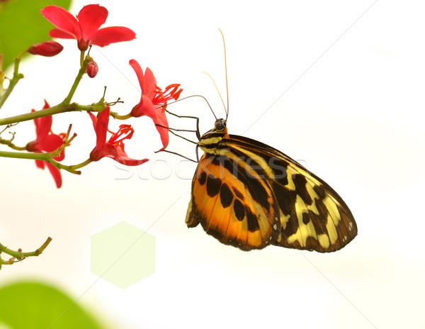 Tropikal kelebek güzel kaplan çiçek doğa Stok fotoğraf © saddako2