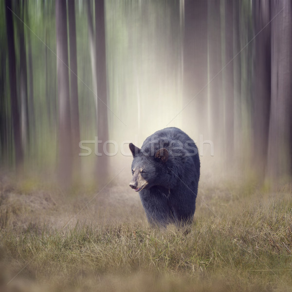 Black bear in the woods Stock photo © saddako2