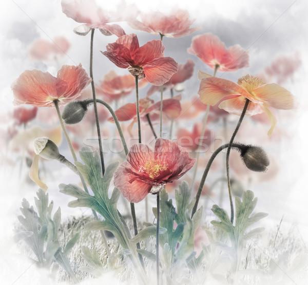 Red Poppy Flowers Stock photo © saddako2