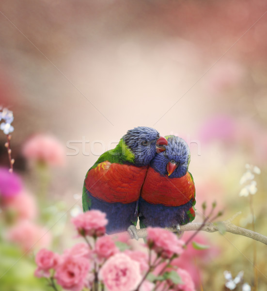 Rainbow Lorikeets Stock photo © saddako2