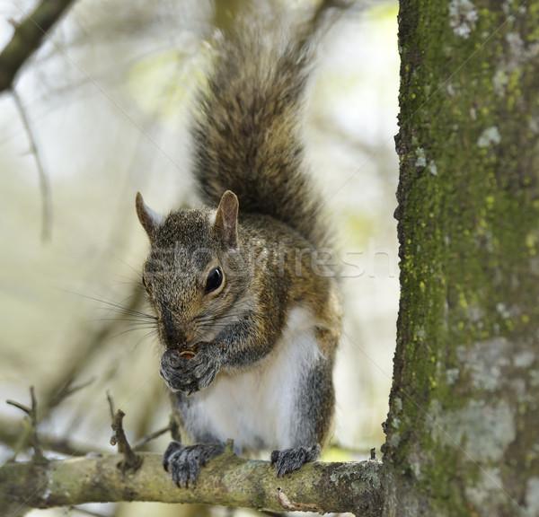 Eastern Gray Squirrel Stock photo © saddako2