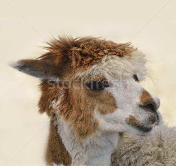 Kahverengi beyaz alpaka portre doğa Stok fotoğraf © saddako2