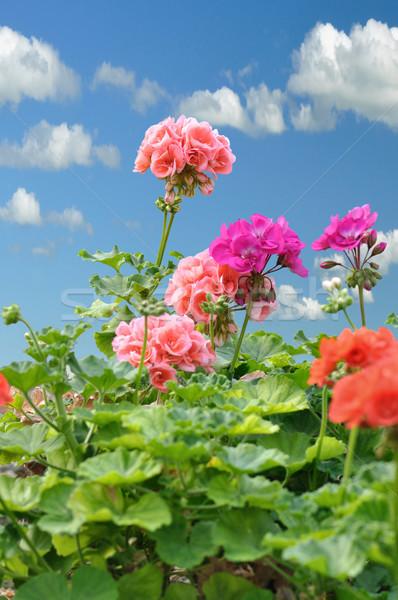 geranium Stock photo © saddako2