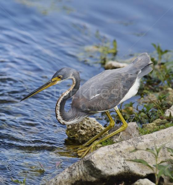Balıkçıl Florida doğa kuş balık tutma kayalar Stok fotoğraf © saddako2