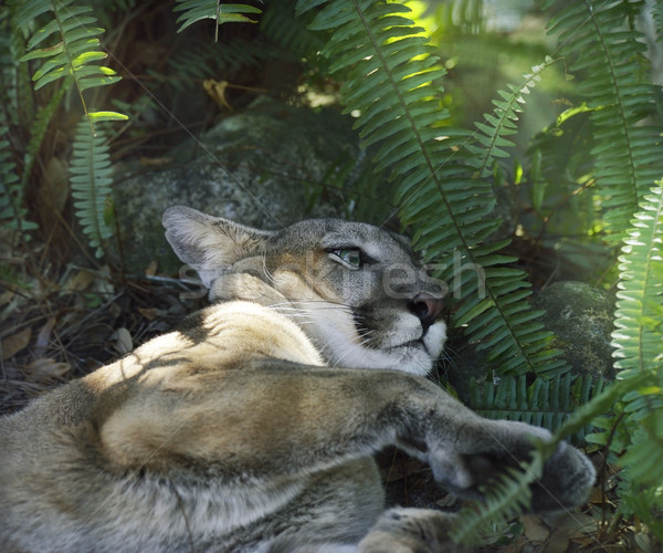 A North American Cougar (Puma concolor) Resting Under Shady Tree Stock photo © saddako2
