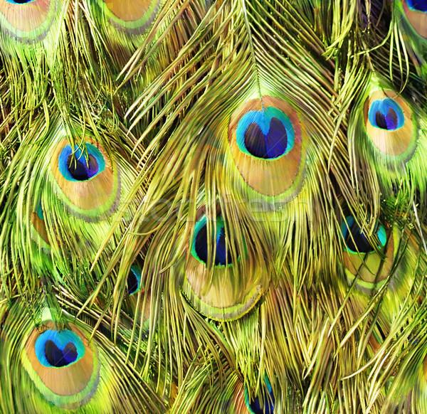 Tavuskuşu doğa arka plan mavi Stok fotoğraf © saddako2