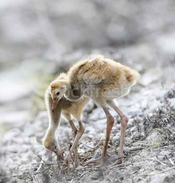 Vinç civciv iki küçük yürüyüş hayvan Stok fotoğraf © saddako2
