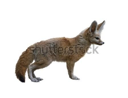 Fox isolé blanche cute brun faune Photo stock © saddako2